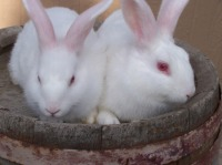 White_Rabbits